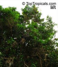 Citharexylum spinosum, Citharexylum quadrangulare, Citharexylum subserratum, Fiddlewood, Boo-nge SaareeClick to see full-size image