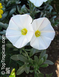 Convolvulus sp., Bindweed  Click to see full-size image