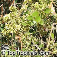 Dalbergia sissoo, Sisu, Sissoo, Indian RosewoodClick to see full-size image