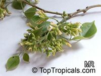 Dalbergia sissoo, Sisu, Sissoo, Indian Rosewood  Click to see full-size image