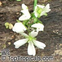 Dionaea muscipula, Venus flytrapClick to see full-size image