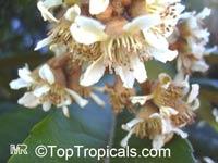 Eriobotrya japonica, Loquat, Japanese Plum, Nispero  Click to see full-size image