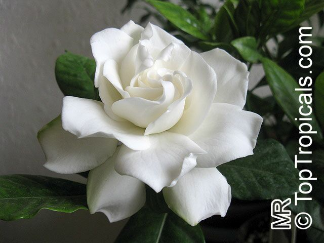gardenia augusta, gardenia jasminoides, bush gardenia, cape, Beautiful flower