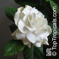 Gardenia augusta, Gardenia jasminoides, Bush Gardenia, Cape Jasmine, Bunga Cina, Bush Gardenia  Click to see full-size image