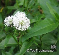 Gymnocoronis spilanthoides, Senegal tea  Click to see full-size image