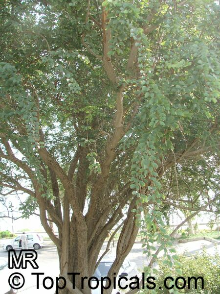 Hardwickia Binata Anjan Toptropicals Com