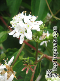 Heptacodium miconioides, Heptacodium jasminoides, Seven Sons plant  Click to see full-size image