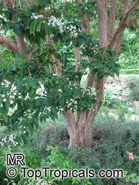 Heptacodium miconioides, Heptacodium jasminoides, Seven Sons plant