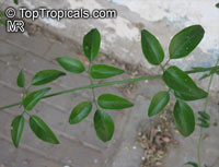 Jasminum azoricum, Jasminum trifoliatum Moench, Jasminum bahiense, Jasminum blandum, Jasminum fluminense, Jasminum hildebrandtii, Jasminum holstii, River Jasmine, Scrambling Vine, Jasmine De TrapoClick to see full-size image