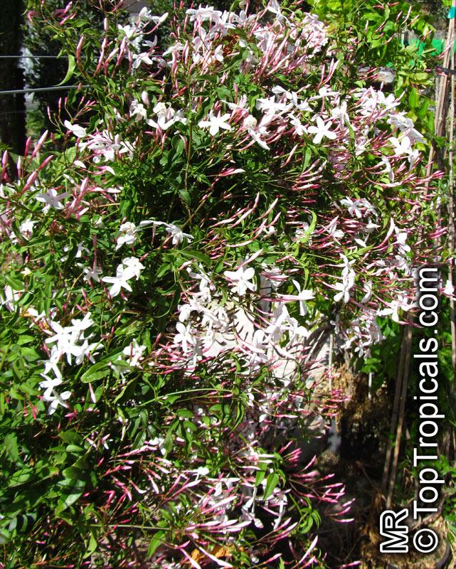 Jasminum polyanthum jasminum blinii jasminum delafieldii pink