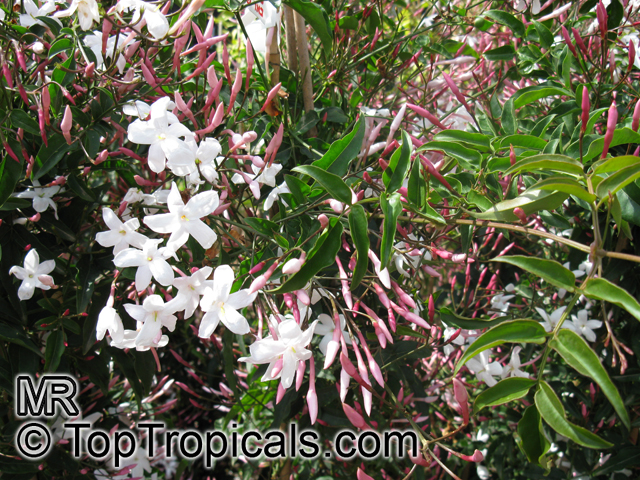 Jasminum polyanthum by The Gardening Blog