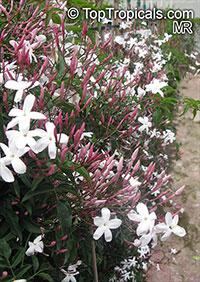Jasminum polyanthum - Pink Winter Jasmine  Click to see full-size image