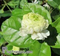 Jasminum sambac Grand Duke Of Tuscany, Nyctanthes sambac, Mogori Sambac, Butt Mograw, Hawaiian Pikake, Moss Rose Jasmine, Sambac Flore PlenoClick to see full-size image