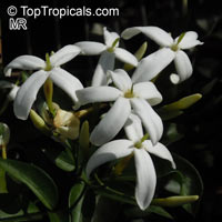 Jasminum tortuosum, African Jasmine, Perfume jasmine  Click to see full-size image