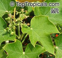 Jatropha curcas, Physic Nut, Purging Nut  Click to see full-size image