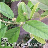 Kiggelaria africana, Wild peach  Click to see full-size image