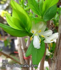 Lonicera fragrantissima, Winter Honeysuckle  Click to see full-size image