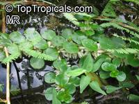 Ludwigia helminthorrhiza, Bushy Seed Box, Rattlebox   Click to see full-size image