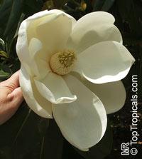 Magnolia grandiflora Edith Bogue - Southern magnolia  Click to see full-size image