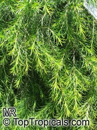 Melaleuca armillaris, Bracelet Honey Myrtle  Click to see full-size image