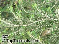 Melaleuca cuticularis, Melaleuca abietina, Saltwater Paperbark  Click to see full-size image