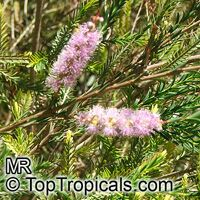 Melaleuca decussata, Cross-leaved Honey-myrtle, Totem Poles  Click to see full-size image