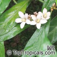 Mitriostigma sp., African gardenia  Click to see full-size image
