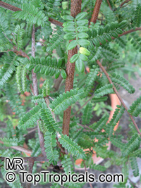 Osteomeles schweriniae, Chinese Emperor Plum  Click to see full-size image