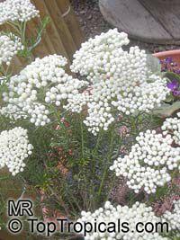 Ozothamnus diosmifolius, Helichrysum diosmifolium, Rice Flower, White Dogwood, Pill Flower, Sago Bush   Click to see full-size image