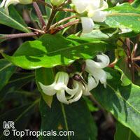 Pittosporum undulatum, Native Daphne, Sweet Pittosporum, Snowdrop Tree , Mock Orange  Click to see full-size image