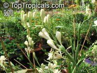 Agave amica, Polianthes tuberosa, Tuberose  Click to see full-size image