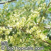 Schinus polygamus, Chilean pepper-tree  Click to see full-size image