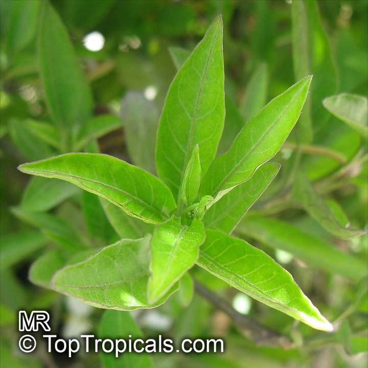 Solanum laxum, Solanum...