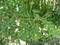 Sophora japonica, Styphnolobium japonicum, Japanese Pagoda Tree, Scholar-tree  Click to see full-size image