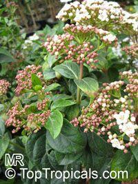Viburnum tinus, Laurustinus  Click to see full-size image