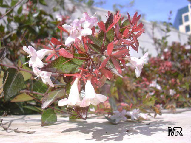 BUSQUEMOS HERMOSAS FLORES - Página 5 Abelia_grandiflora3665