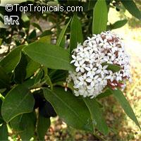 Acokanthera oppositifolia, Bushman's Poison  Click to see full-size image