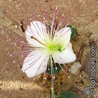 Capparis spinosa, Caper  Click to see full-size image