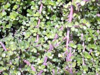 Portulacaria afra, Elephant's Food, Elephant Bush, Baby Jade, Crassula PortulacariaClick to see full-size image