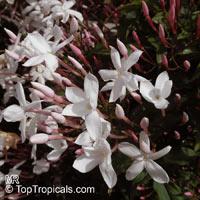 Jasminum polyanthum variegatum - Variegated Pink Winter Jasmine  Click to see full-size image