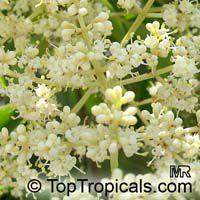 Ligustrum lucidum, Glossy Privet, Waxleaf Privet  Click to see full-size image