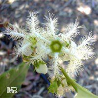 Lophostemon confertus, Tristania conferta, Brush Box, Queensland Box, Vinegar tree  Click to see full-size image