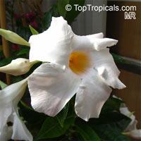 Mandevilla boliviensis, Mandevilla Summer Snow, White DipladeniaClick to see full-size image
