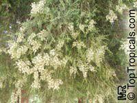 Melaleuca sp., MelaleucaClick to see full-size image