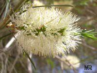 Melaleuca ericifolia, Swamp Paperbark, Australian Rosalina  Click to see full-size image