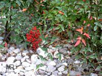 Nandina domestica, Heavenly bamboo  Click to see full-size image