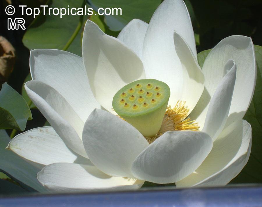 Nelumbo Nucifera. Asiatic Lotus 663 X 480   35k   Jpg Toptropicals.com