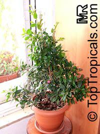 Syzygium paniculatum, Eugenia paniculata, Australian Brush Cherry, Magenta Lilly Pilly   Click to see full-size image