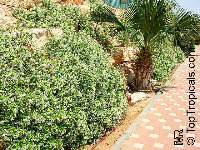 Trachelospermum Jasminoides Confederate Jasmine Star