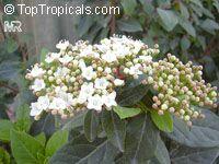 Viburnum tinus, LaurustinusClick to see full-size image
